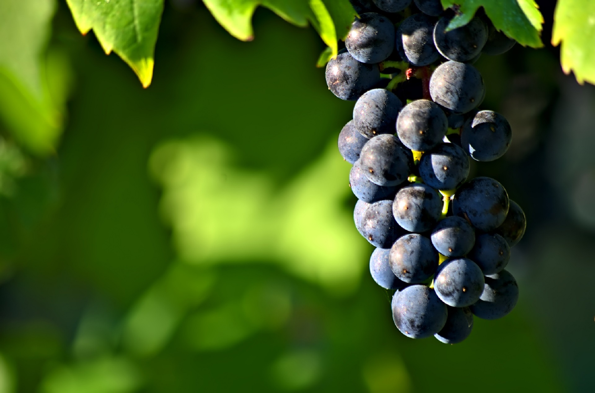 cluster-of-grapes
